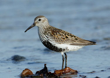 Dunlin - UK wader,wading bird,bird,birds,Dunlin,Calidris alpina,Birds,Waders,Chordates,Chordata,Aves,Charadriiformes,Shorebirds and Terns,Sandpipers, Phalaropes,Scolopacidae,Ciconiiformes,Herons Ibises Storks and