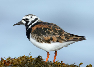 Ruddy turnstone - UK wader,wading bird,bird,birds,Ruddy turnstone,Arenaria interpres,Birds,Waders,Sandpipers, Phalaropes,Scolopacidae,Chordates,Chordata,Aves,Charadriiformes,Shorebirds and Terns,Ciconiiformes,Herons Ibise