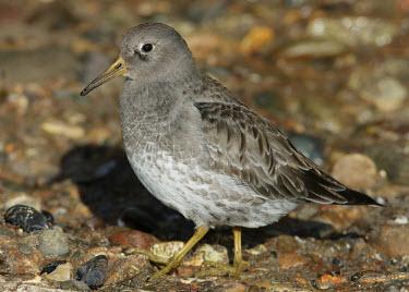 Purple sandpiper - UK Close up,Purple Sandpiper,sandpiper,Animalia,Chordata,Aves,Charadriiformes,Scolopacidae,Calidris maritima,Birds,Waders