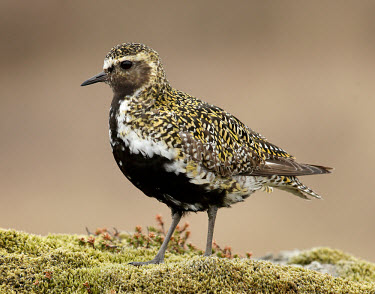 Eurasian golden plover - UK Eurasian Golden Plover,Eurasian Golden-Plover,European Golden Plover,European Golden-Plover,Golden Plover,Animalia,Chordata,Aves,Charadriiformes,Charadriidae,Pluvialis apricaria,Birds,Waders,Golden pl