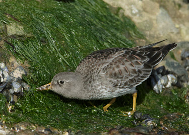 Purple sandpiper - UK Purple Sandpiper,sandpiper,Animalia,Chordata,Aves,Charadriiformes,Scolopacidae,Calidris maritima,Birds,Waders