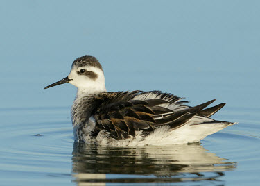 Red-necked phalarope - UK wader,wading bird,bird,birds,Red-necked phalarope,Phalaropus lobatus,Birds,Waders,Sandpipers, Phalaropes,Scolopacidae,Aves,Chordates,Chordata,Charadriiformes,Shorebirds and Terns,Ciconiiformes,Herons
