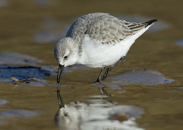 Sanderling - UK wader,wading bird,bird,birds,Sanderling,Calidris alba,Birds,Waders,Charadriiformes,Shorebirds and Terns,Chordates,Chordata,Sandpipers, Phalaropes,Scolopacidae,Aves,Ciconiiformes,Herons Ibises Storks a