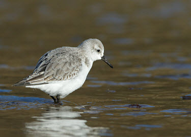 Sanderling - UK coast,Coastal,coast line,coastline,blur,selective focus,blurry,depth of field,Shallow focus,blurred,soft focus,Coastal lagoon,lagoon,Wetland,mire,muskeg,peatland,bog,environment,ecosystem,Habitat,Aqua