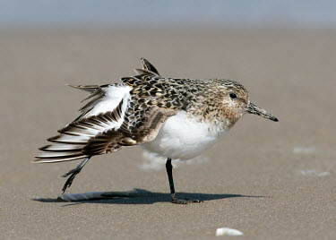 Sanderling - UK Aquatic,water,water body,Coastal lagoon,lagoon,blur,selective focus,blurry,depth of field,Shallow focus,blurred,soft focus,Lake,lakes,Wetland,mire,muskeg,peatland,bog,environment,ecosystem,Habitat,coa