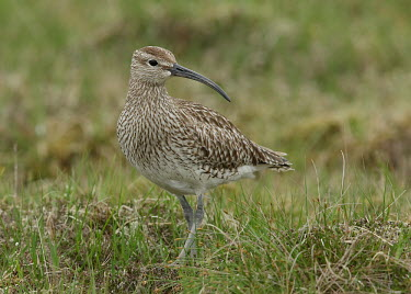 Whimbrel - UK wader,wading bird,bird,birds,Whimbrel,Numenius phaeopus,Birds,Waders,Chordates,Chordata,Ciconiiformes,Herons Ibises Storks and Vultures,Charadriiformes,Shorebirds and Terns,Sandpipers, Phalaropes,Scol