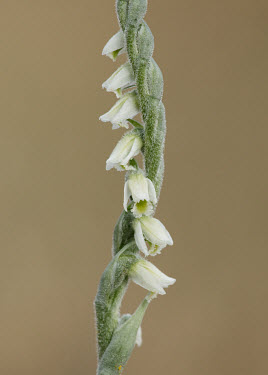 Autumn Lady's tresses - UK orchid,plant,plants,flower,Autumn Lady's tresses,Spiranthes spiralis,Orchid Family,Orchidaceae,Asparagales,Equisetopsida,Horsetails,Tracheophyta,Terrestrial,Not Evaluated,IUCN Red List,Grassland,Appen
