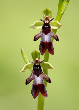Fly orchid - UK Grassland,floral,Flower,environment,ecosystem,Habitat,Close up,Terrestrial,ground,orchid,plant,plants,flower,Fly orchid,Ophrys insectifera,Orchid Family,Orchidaceae,Monocots,Liliopsida,Ophrys myodes,O