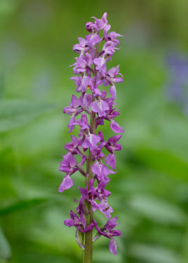 Orchis - UK petals,corolla,flower petals,corollas,flower petal,Petal,Stage,bloom,flowered,flower,in bloom,blooming,Flowering,flowers,Close up,coloration,Colouration,violet,indigo,Purple,Macro,macrophotography,col