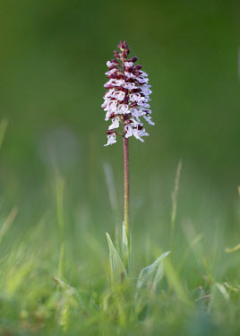 Lady orchid - UK orchid,plant,plants,flower,Lady orchid,Orchis purpurea,Orchis,Orchid Family,Orchidaceae,Monocots,Liliopsida,Plantae,Europe,Africa,Orchidales,Tracheophyta,Asia,Forest,Not Evaluated,IUCN Red List,Grassl