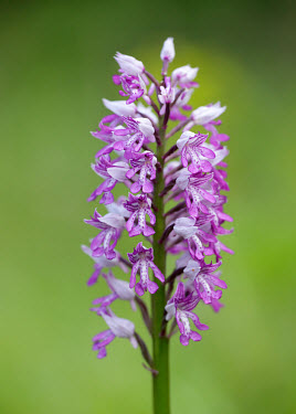 Military orchid - UK environment,ecosystem,Habitat,pink,Greenery,foliage,vegetation,coloration,Colouration,colours,color,colors,Colour,Terrestrial,ground,Grassland,Close up,wildflower meadow,Meadow,floral,Flower,orchid,pl