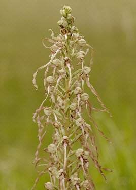 Lizard orchid - UK Close up,Greenery,foliage,vegetation,floral,Flower,wildflower meadow,Meadow,Terrestrial,ground,Grassland,environment,ecosystem,Habitat,orchid,plant,plants,flower,Lizard orchid,Himantoglossum hircinum,