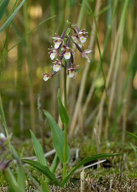 Marsh helleborine - UK Grassland,environment,ecosystem,Habitat,Terrestrial,ground,wildflower meadow,Meadow,Greenery,foliage,vegetation,Close up,floral,Flower,Marsh helleborine,Plantae,Tracheophyta,Liliopsida,Orchidales,Orch