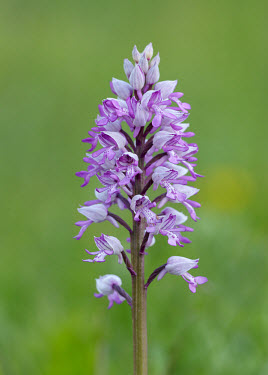 Military orchid - UK orchid,plant,plants,flower,Military orchid,Orchis militaris,Orchid Family,Orchidaceae,Monocots,Liliopsida,Vulnerable,Orchis,Plantae,Wildlife and Conservation Act,Europe,Grassland,Orchidales,Photosynth