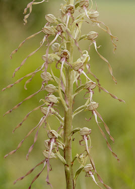 Lizard orchid - UK orchid,plant,plants,flower,Lizard orchid,Himantoglossum hircinum,Monocots,Liliopsida,Orchid Family,Orchidaceae,Scrub,Terrestrial,Symbiotic,Photosynthetic,Tracheophyta,Plantae,Temperate,Europe,Orchidal