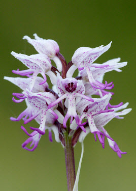 Monkey orchid - UK orchid,plant,plants,flower,Monkey orchid,Orchis simia,Monocots,Liliopsida,Orchid Family,Orchidaceae,Grassland,Vulnerable,Wildlife and Conservation Act,Terrestrial,Africa,Orchis,Temperate,Photosyntheti