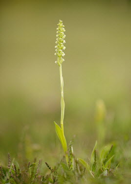 Pseudorchis - UK Pseudorchis,Pseudorchis albida,Asparagales,Magnoliophyta,Flowering Plants,Orchid Family,Orchidaceae,Monocots,Liliopsida,Europe,Asia,North America,Photosynthetic,Plantae,Terrestrial