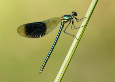 Banded demoiselle - UK coloration,Colouration,Green background,Macro,macrophotography,Close up,Green,azul,Blue,colours,color,colors,Colour,metallic,Banded demoiselle,Calopteryx splendens,Insects,Insecta,Broad-winged Damself