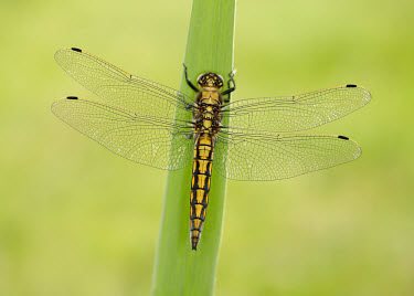 Black-tailed skimmer - UK Black-tailed skimmer,Animalia,Arthropoda,Insecta,Odonata,Libellulidae,Orthetrum cancellatum,Nesciothemis farinosa,Insects,Dragonflies and Damselflies,Arthropods,Skimmers,Orthetrum pollinosum,Common bl