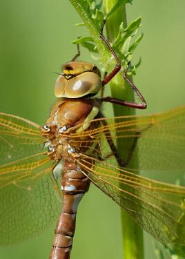 Brown hawker - UK Brown hawker,Animalia,Arthropoda,Insecta,Odonata,Aeshnidae,Aeshna grandis