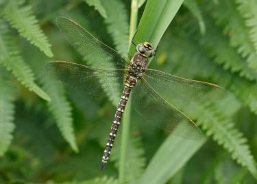 Moorland hawker - UK Common hawker,Moorland hawker,Sedge darner,Animalia,Arthropoda,Insecta,Odonata,Aeshnidae,Aeshna juncea