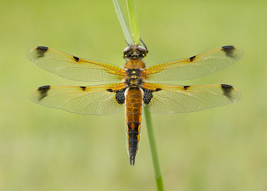 Four-spotted chaser - UK Four-spotted chaser,Libellula quadrimaculata,Insects,Insecta,Odonata,Dragonflies and Damselflies,Arthropoda,Arthropods,Skimmers,Libellulidae,Libellule Quadrimacul�e,Carnivorous,Common,Flying,Animalia,