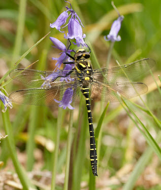 Golden-ringed dragonfly - UK Green background,Close up,Macro,macrophotography,Golden-ringed dragonfly,Cordulegaster boltonii,Spiketails,Cordulegastridae,Insects,Insecta,Arthropoda,Arthropods,Odonata,Dragonflies and Damselflies,Co