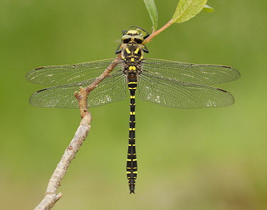 Golden-ringed dragonfly - UK Golden-ringed dragonfly,Cordulegaster boltonii,Spiketails,Cordulegastridae,Insects,Insecta,Arthropoda,Arthropods,Odonata,Dragonflies and Damselflies,Common,Temperate,Heathland,Aquatic,Asia,Flying,Cord