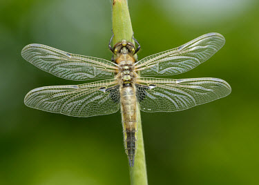 Four-spotted chaser - UK Macro,macrophotography,Close up,Green background,blur,selective focus,blurry,depth of field,Shallow focus,blurred,soft focus,Four-spotted chaser,Libellula quadrimaculata,Insects,Insecta,Odonata,Dragon