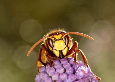 Hornet - UK antennas,Antenna,feeler,feelers,antennae,Facial portrait,face,Macro,macrophotography,yellow,Close up,Bokeh,colours,color,colors,Colour,Mouth,mouthpart,mouths,mouthparts,blur,selective focus,blurry,dep