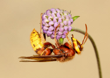 Hornet - UK colours,color,colors,Colour,Close up,coloration,Colouration,Macro,macrophotography,yellow,Hornet,Vespa crabro,Vespidae,Yellowjackets, Hornets, Paper Wasps, Potter Wasps,Sawflies, Ants, Wasps, Bees,Hym