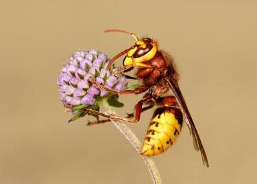 Hornet - UK colours,color,colors,Colour,coloration,Colouration,yellow,Macro,macrophotography,blur,selective focus,blurry,depth of field,Shallow focus,blurred,soft focus,Close up,Hornet,Vespa crabro,Vespidae,Yello