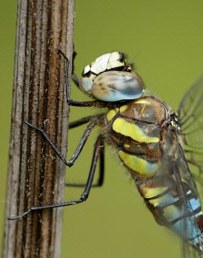 Migrant hawker - UK Close up,colours,color,colors,Colour,azul,Blue,Green background,coloration,Colouration,Macro,macrophotography,Animalia,Arthropoda,Insecta,Odonata,Aeshnidae,Aeshna mixta,Migrant hawker,dragonfly,dragon