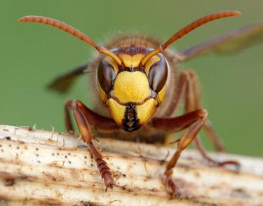 Hornet - UK Hornet,Vespa crabro,Vespidae,Yellowjackets, Hornets, Paper Wasps, Potter Wasps,Sawflies, Ants, Wasps, Bees,Hymenoptera,Insects,Insecta,Arthropoda,Arthropods,Animalia,North America,Asia,Europe,Carnivor