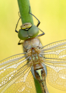 Green-eyed hawker - UK Macro,macrophotography,eyes,Eye,Yellow background,face,eye colour,Close up,Green,Green eyes,wings,wing,winged,Animalia,Arthropoda,Insecta,Odonata,Aeshnidae,Aeshna isoceles,dragonfly,dragonflies,hawker
