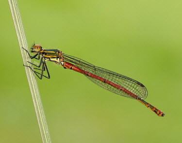 Large red damsel - UK colours,color,colors,Colour,Close up,blur,selective focus,blurry,depth of field,Shallow focus,blurred,soft focus,rouge,Red,scarlet,crimson,Green background,coloration,Colouration,Macro,macrophotograph
