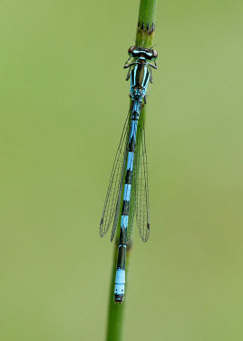 Northern damselfly - UK patterns,patterned,Pattern,Green background,colours,color,colors,Colour,blur,selective focus,blurry,depth of field,Shallow focus,blurred,soft focus,azul,Blue,coloration,Colouration,Close up,stripe,Str