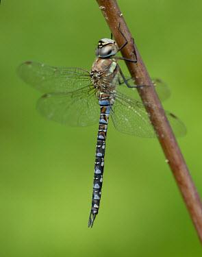 Migrant hawker - UK Animalia,Arthropoda,Insecta,Odonata,Aeshnidae,Aeshna mixta,Migrant hawker,dragonfly,dragonflies