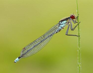 Red-eyed damselfly - UK Red-eyed damselfly,Animalia,Arthropoda,Insecta,Odonata,Coenagrionidae,Erythromma najas,damselfly
