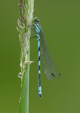 Northern damselfly - UK Spearhead bluet,Animalia,Arthropoda,Insecta,Odonata,Coenagrionidae,Coenagrion hastulatum,Northern damselfly,damselfly,bluet