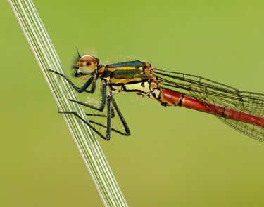 Large red damsel - UK Large red damsel,Animalia,Arthropoda,Insecta,Odonata,Coenagrionidae,Pyrrhosoma nymphula