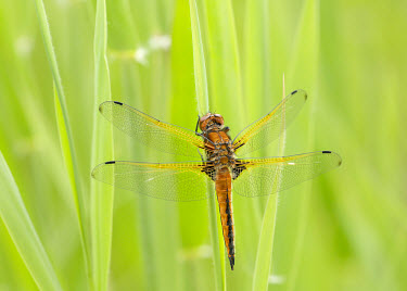 Blue chaser - UK blur,selective focus,blurry,depth of field,Shallow focus,blurred,soft focus,Close up,Green background,Macro,macrophotography,Scarce chaser,Blue chaser,Animalia,Arthropoda,Insecta,Odonata,Libellulidae,