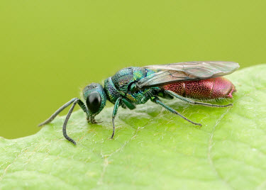 Ruby-tailed wasp - UK Ruby-tailed wasp,cuckoo wasp,kleptoparasite,Animalia,Euarthropoda,Insecta,Hymenoptera,Chrysididae,Chrysis,Chrysis ignita,ruby-tailed wasp,Chrysis pseudobrevitarsis,Insects,Arthropoda,Arthropods,Sawfli