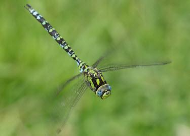 Blue hawker - UK Animalia,Arthropoda,Insecta,Odonata,Aeshnidae,Aeshna cyanea,Southern hawker,Blue hawker,hawker,dragonfly,dragonflies