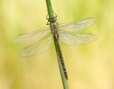 Green-eyed hawker - UK Animalia,Arthropoda,Insecta,Odonata,Aeshnidae,Aeshna isoceles,dragonfly,dragonflies,hawker,Green-eyed Hawker,Norfolk Hawker,Green-eyed hawker