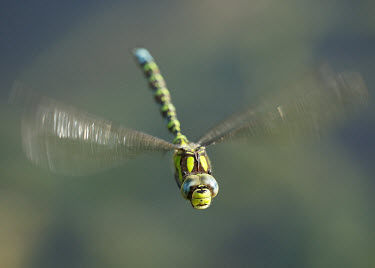 Blue hawker - UK eyes,Eye,face,Close up,big eyes,Macro,macrophotography,in-air,in flight,flight,in-flight,flap,Flying,fly,in air,flapping,action,movement,move,Moving,in action,in motion,motion,Animalia,Arthropoda,Inse