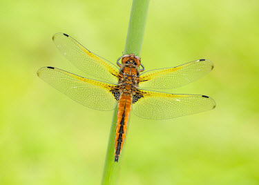 Blue chaser - UK Close up,Macro,macrophotography,Green background,blur,selective focus,blurry,depth of field,Shallow focus,blurred,soft focus,Scarce chaser,Blue chaser,Animalia,Arthropoda,Insecta,Odonata,Libellulidae,