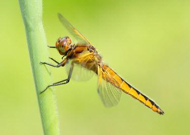Blue chaser - UK Scarce chaser,Blue chaser,Animalia,Arthropoda,Insecta,Odonata,Libellulidae,Libellula fulva