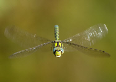 Blue hawker - UK face,action,movement,move,Moving,in action,in motion,motion,Close up,Macro,macrophotography,in-air,in flight,flight,in-flight,flap,Flying,fly,in air,flapping,eyes,Eye,big eyes,Animalia,Arthropoda,Inse