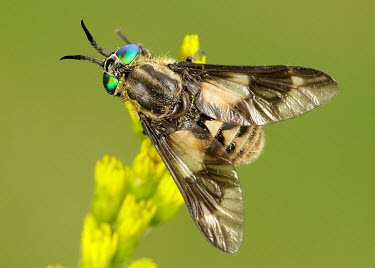 Horse-fly - UK fly,flies,insect,Horse-fly,Chrysops relictus,Horse fly,Diptera,True Flies, Flies,Tabanidae,Horse and Deer Flies,Insects,Insecta,Arthropoda,Arthropods,Australia,Common,Europe,Africa,Terrestrial,Flying,